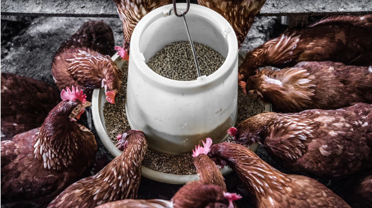 Animal Feeding Manufacturer for high quality feeds