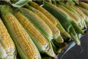 corn for animal feeding